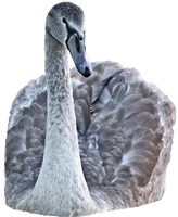 swan png - free stock by AStoKo