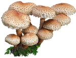 mushroom 6 STOCK