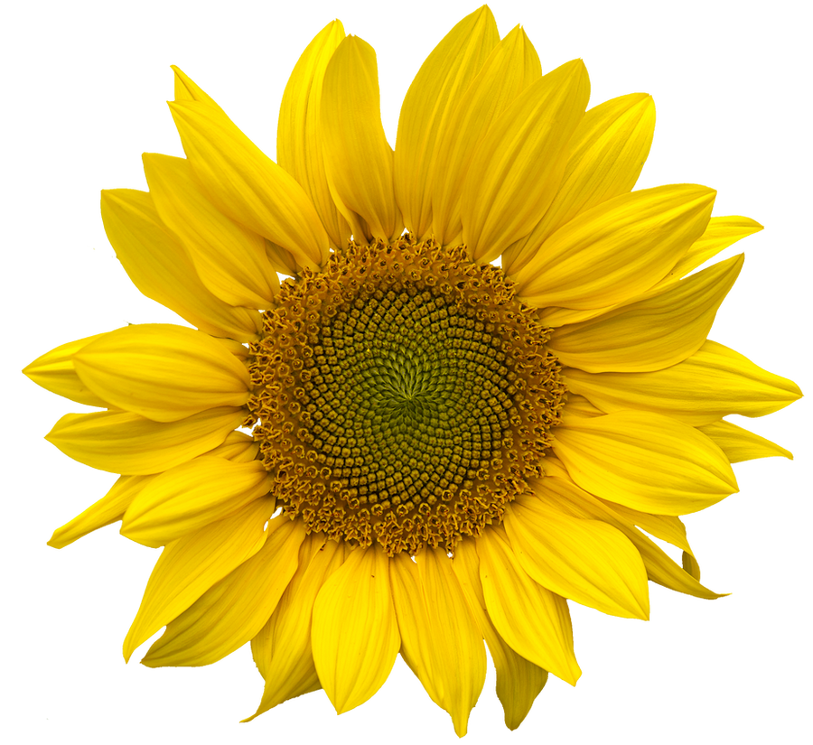 Sunflower png clearcut STOCK by AStoKo on DeviantArt