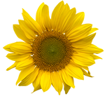 Sunflower png clearcut STOCK