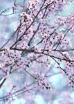 Pastell Cherry Blossom