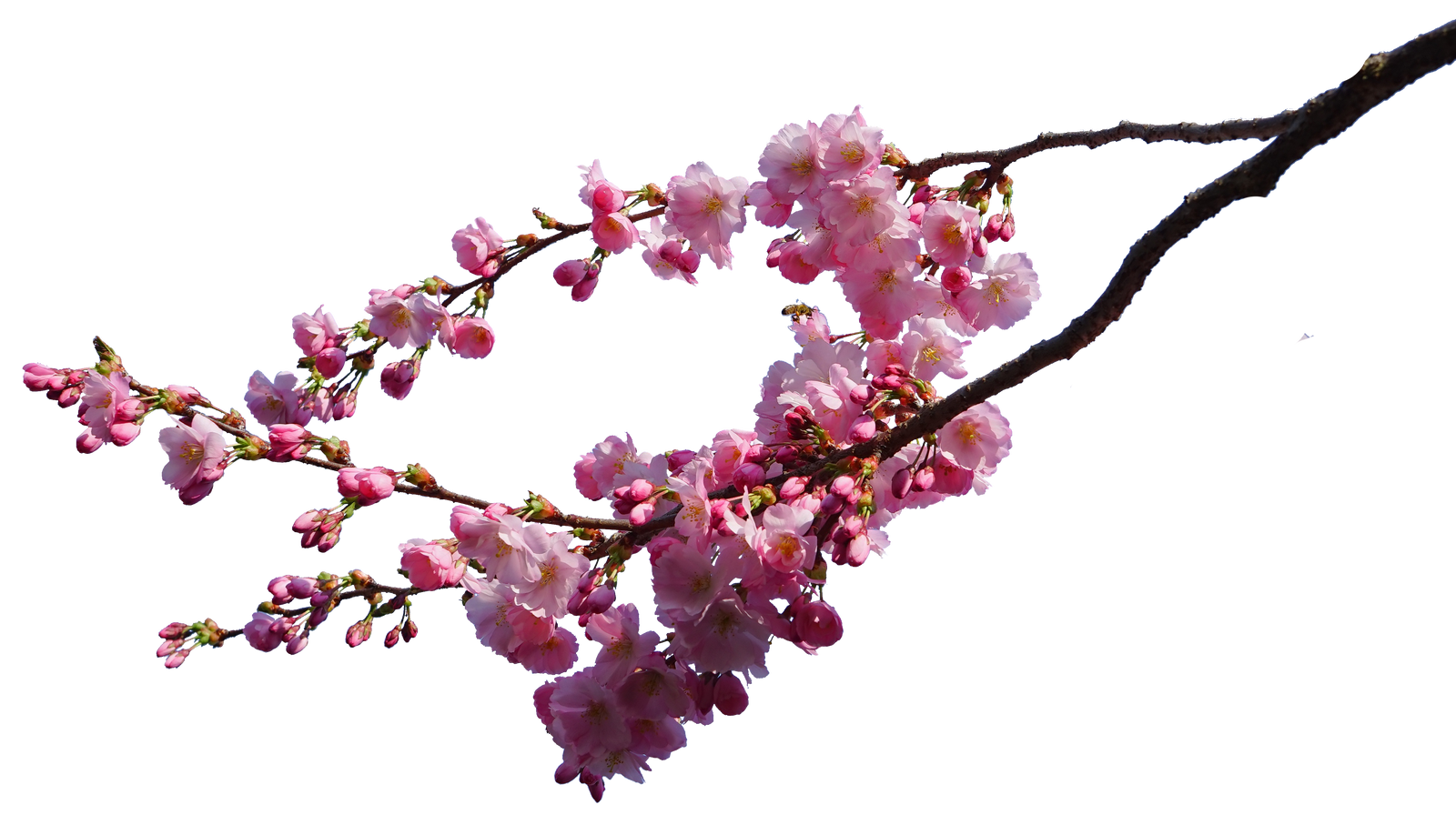 cherry blossom branches png STOCK by AStoKo