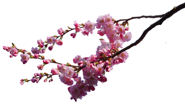 cherry blossom branches png STOCK