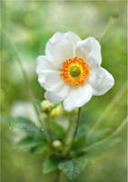 Anemone 1 by AStoKo