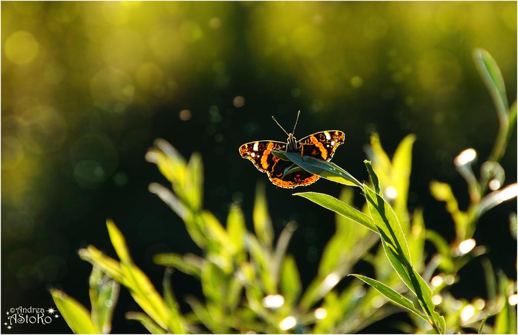 No Macro ~ Butterfly Admiral ~ Vanessa atalanta by AStoKo