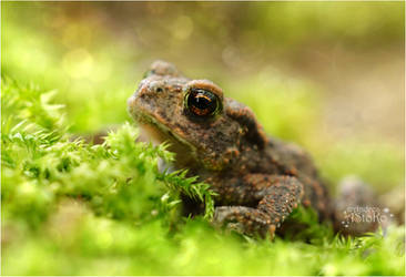 Little toad ~ pretty big by AStoKo