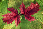 Red autumn leaves STOCK