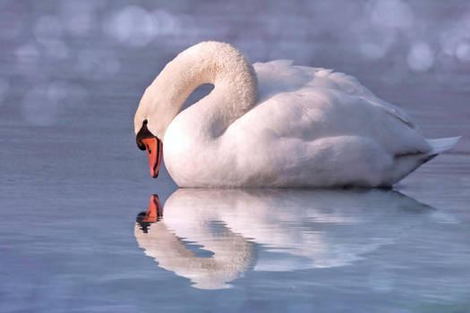 Nice Swan Water Reflection stock