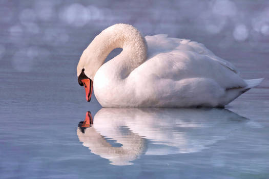 Nice Swan Water Reflection stock