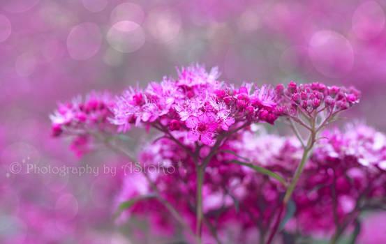 Pink Flower 2018 fm