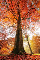 blood beech  Is a tree really just a plant or more by AStoKo