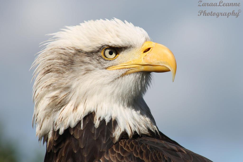 Alaskan Bald Eagle by ZaraaLeanne