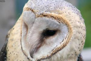 Barn Owl by ZaraaLeanne