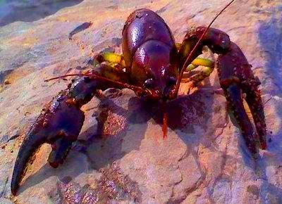 The Lobster Mobster