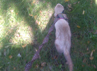 Jacko out for a walk by shadow---cat