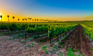 vineyards by eisenmichal