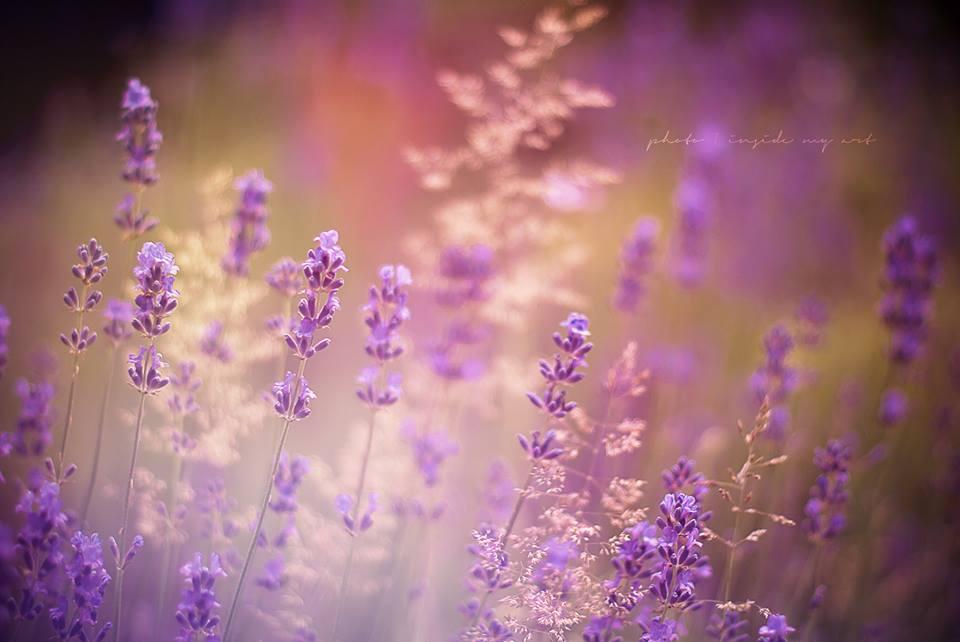 Lavender summer by Inside-my-ART