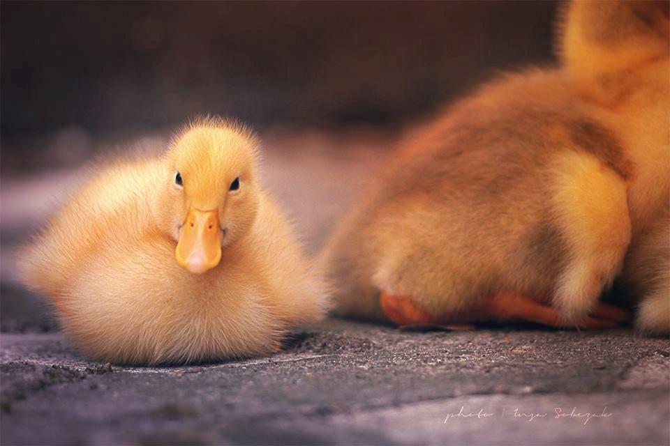 Little duck by Inside-my-ART