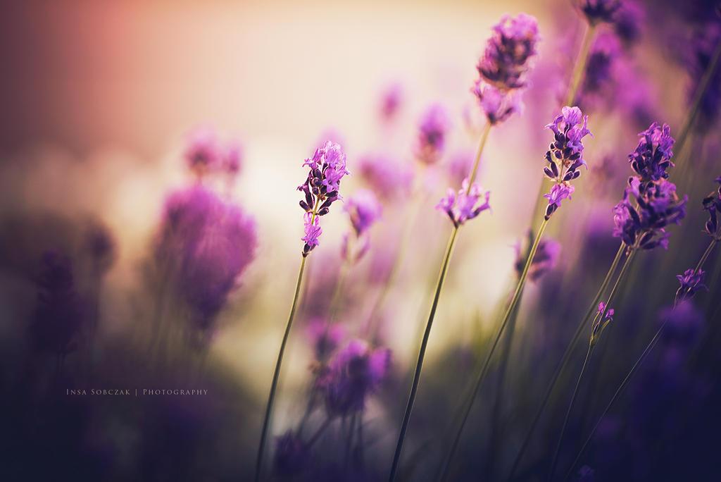 Lavender by Inside-my-ART