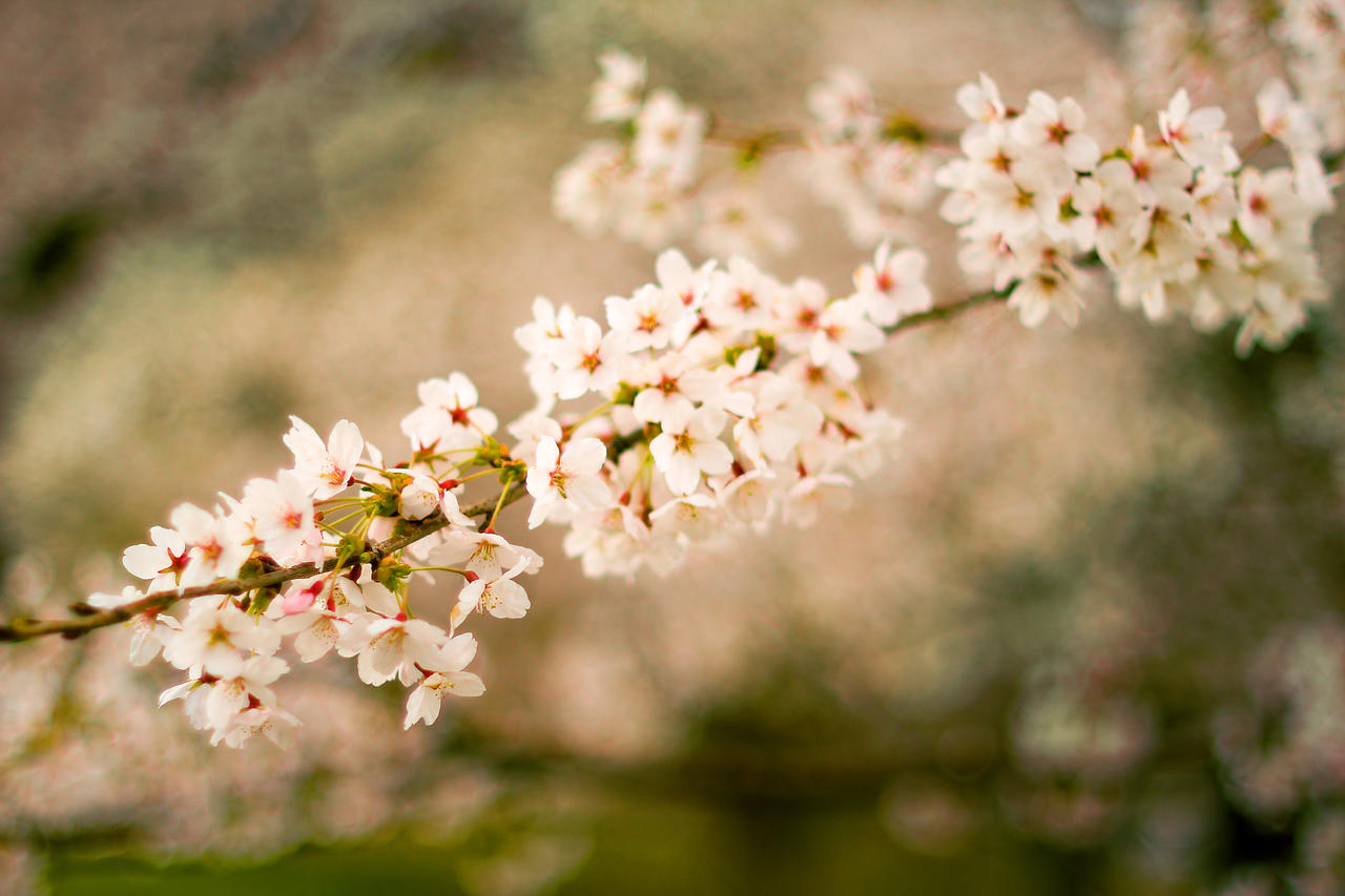 2012 Cherry Blossom #1 by vmulligan