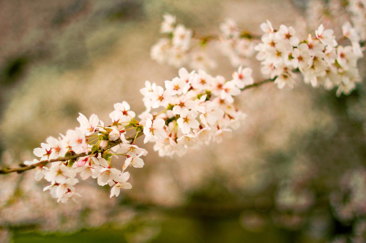 2012 Cherry Blossom #1 by vmulligan