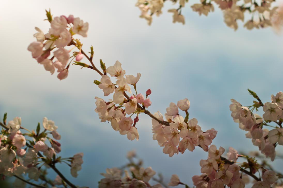2012 Cherry Blossom #2 by vmulligan