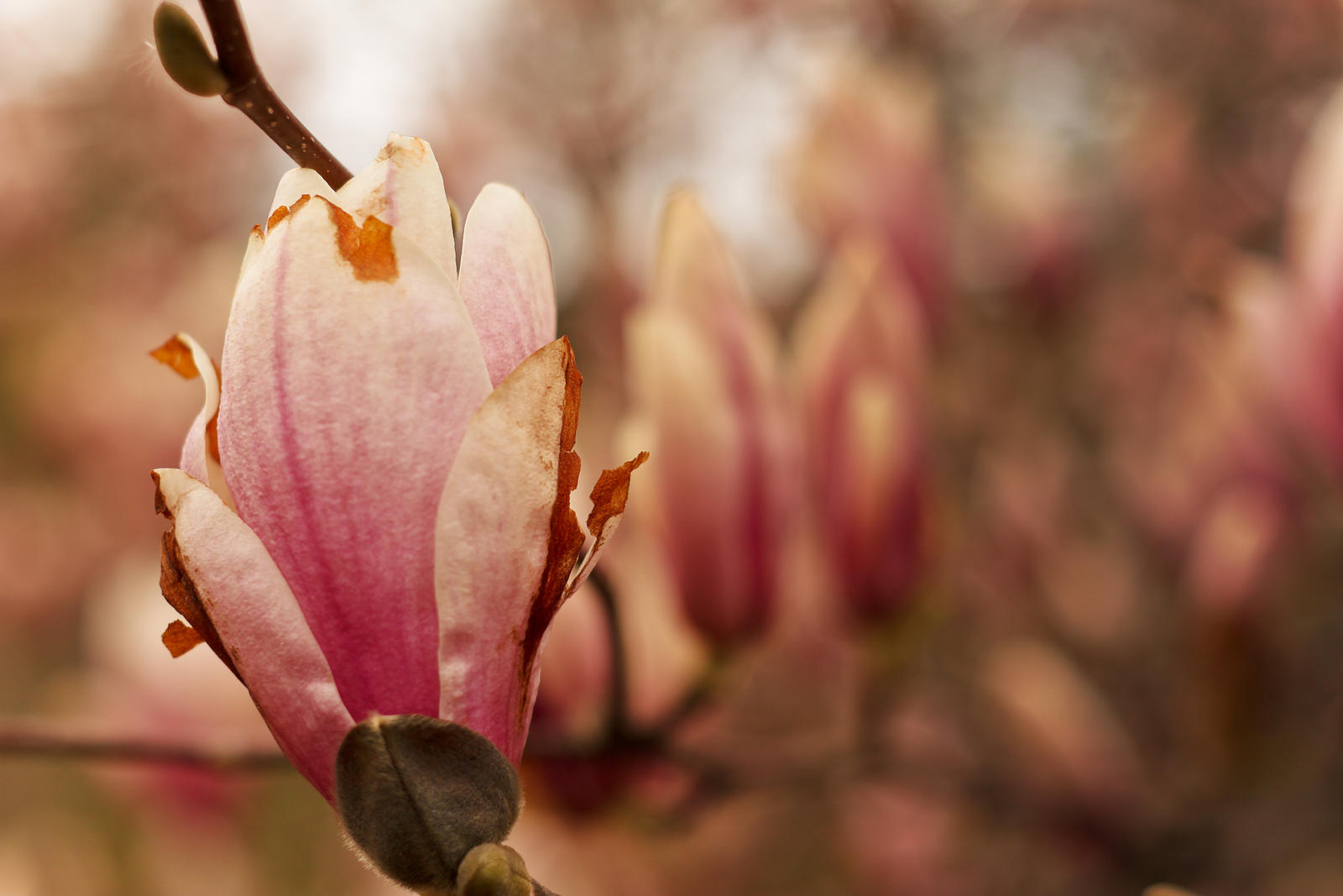 Magnolias #2 by vmulligan