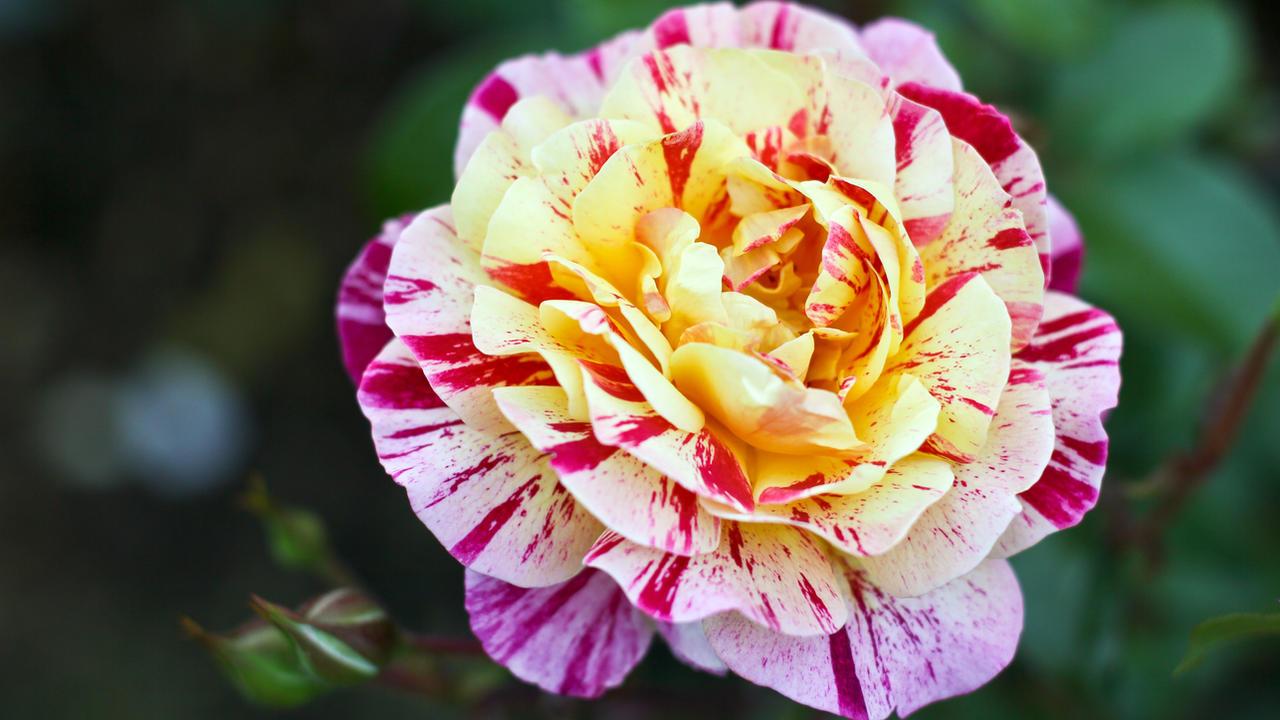 Portland Rose Gardens III by vmulligan