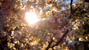 Cherry Blossoms, Seattle Arboretum