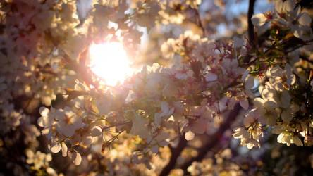 Cherry Blossoms, Seattle Arboretum by vmulligan