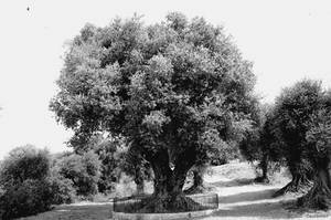1000 year old Olive Tree by Clash-in-the-Night