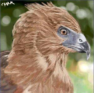 New Zealand hawk