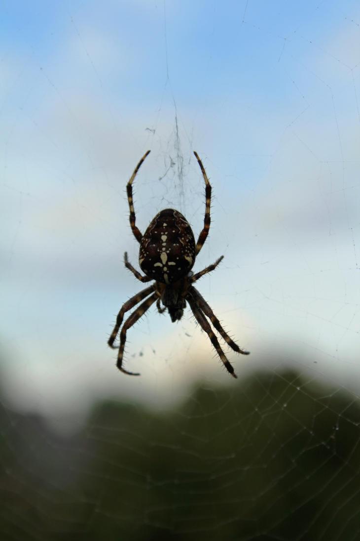 European garden spider by Minarya