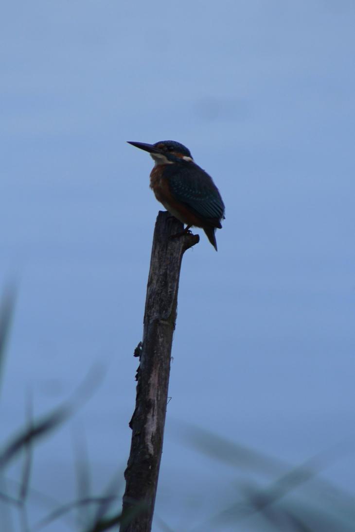 Common kingfisher by Minarya