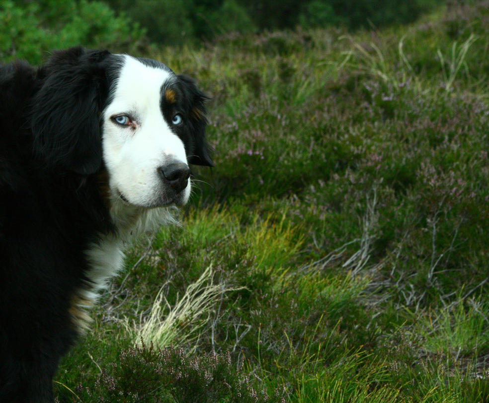 Norwegian Mountain Dog by Driller