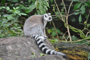 Ringtail Lemur by Sku1c