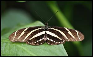 Zebra Heliconian by Sku1c