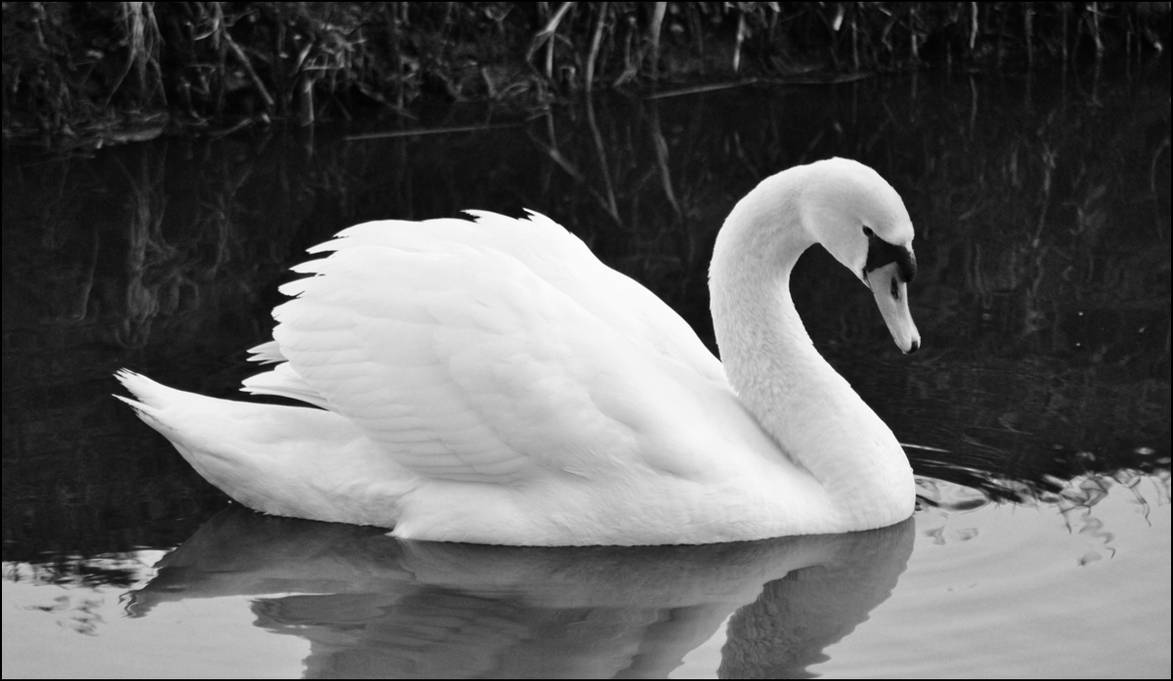 Black and White Swan by Sku1c