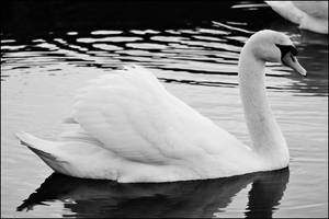 Black and White Swan 2 by Sku1c