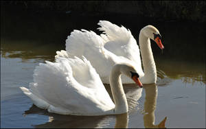 Swan Couple by Sku1c