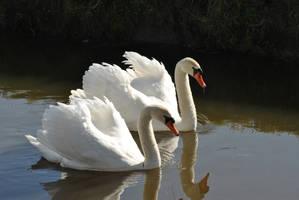 Swan Couple Original by Sku1c