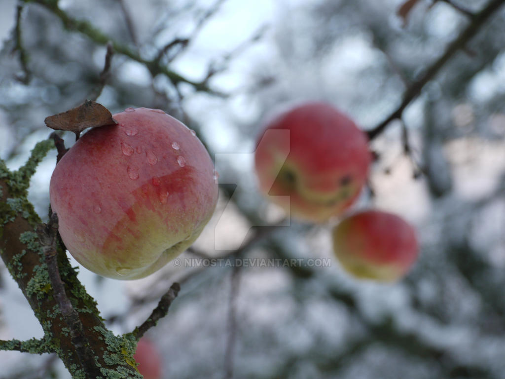 apples covered with snow by NiVosta