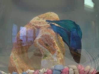 Betta Fish by metatetron-Stock