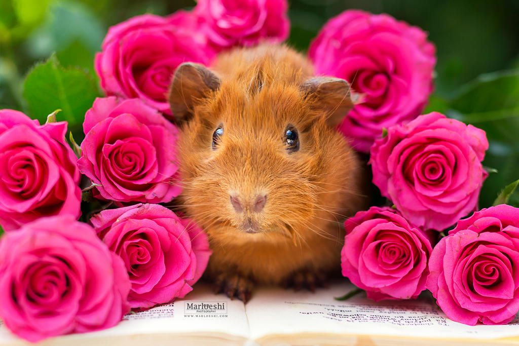 Pien Roses by Marloeshi
