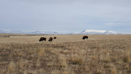 Buffalo of Antelope Island