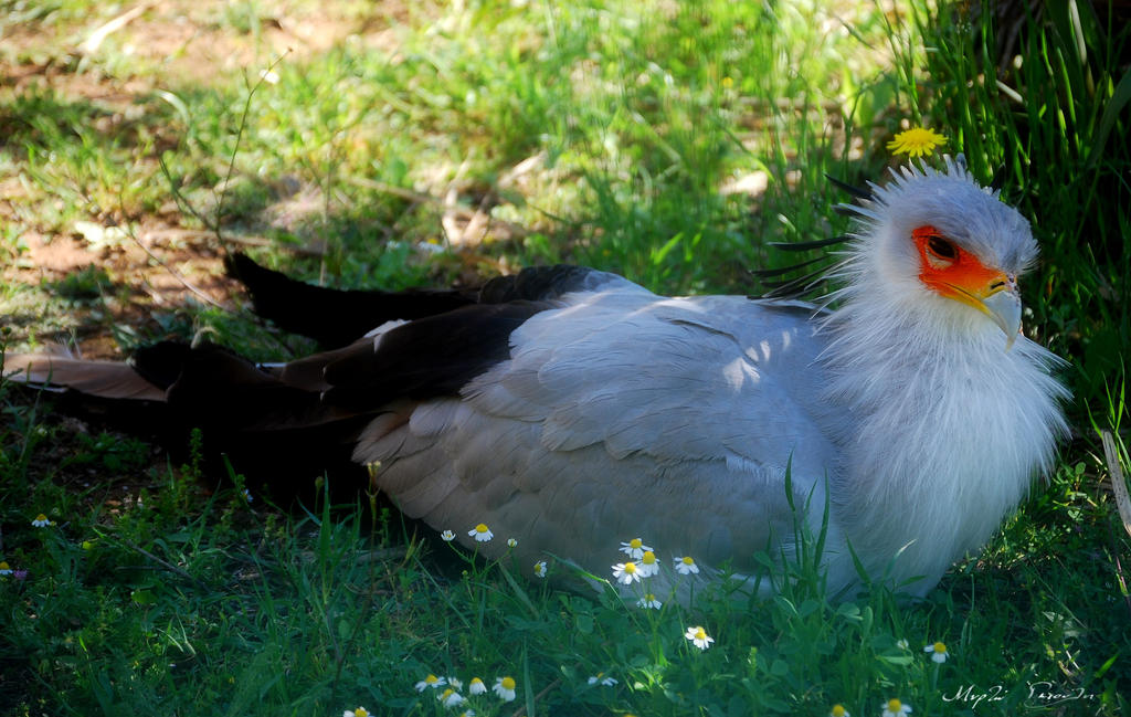 Secretary Bird by MyrtoGkiouli
