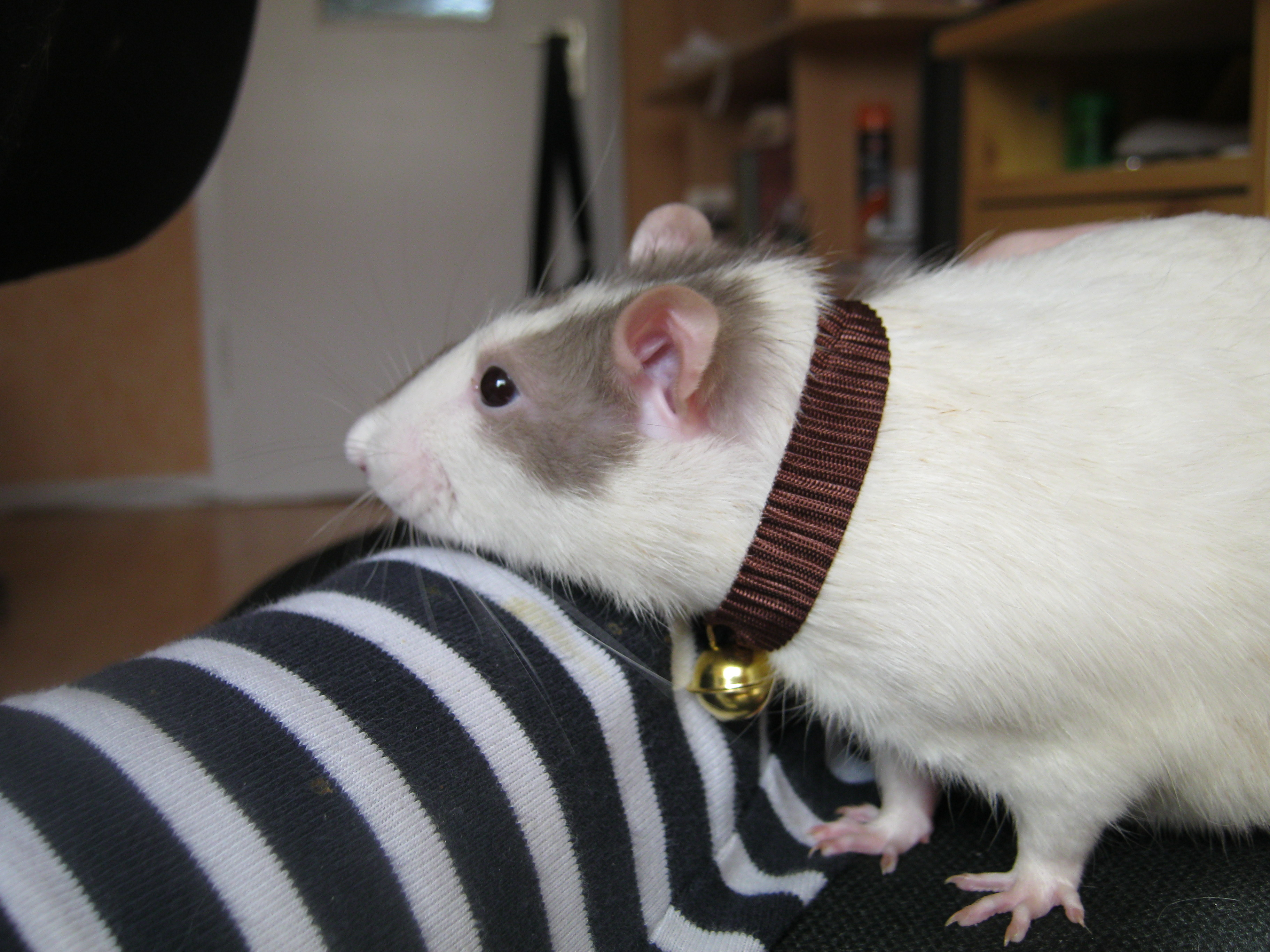 ... Rat with collar by OP-Girl16