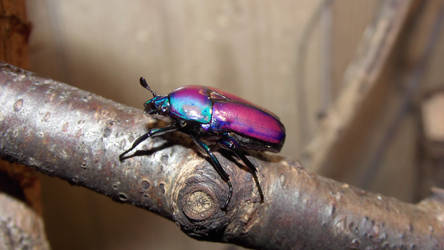 Beauti male beetle
