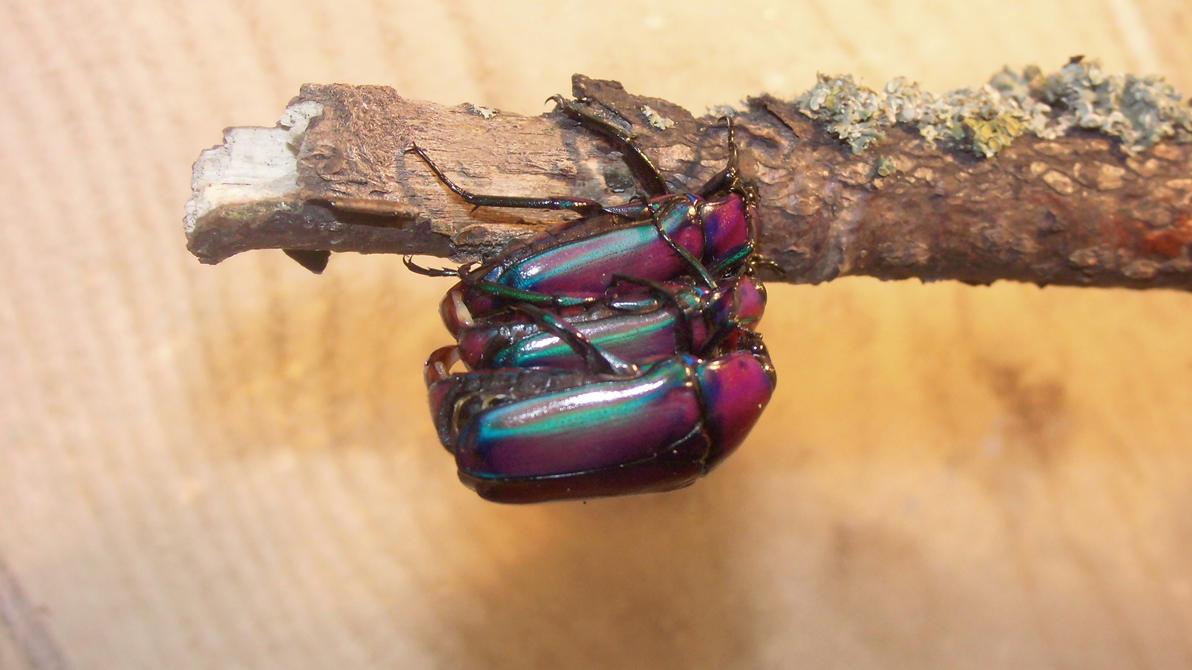 Meine Füßer und Käfer Pervert_beetles_by_op_girl16-d7pnicj