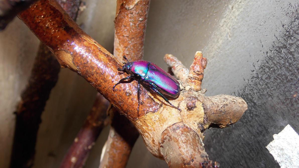 Meine Füßer und Käfer Chlorocala_africana_oertzeni_3_by_op_girl16-d80t10w